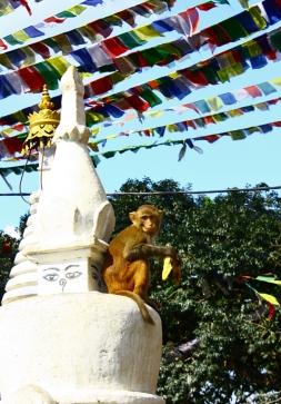 swayambhunathmonkey